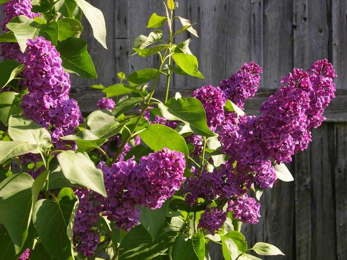 [Image: lilacs+ludwig+spaeth.jpg]