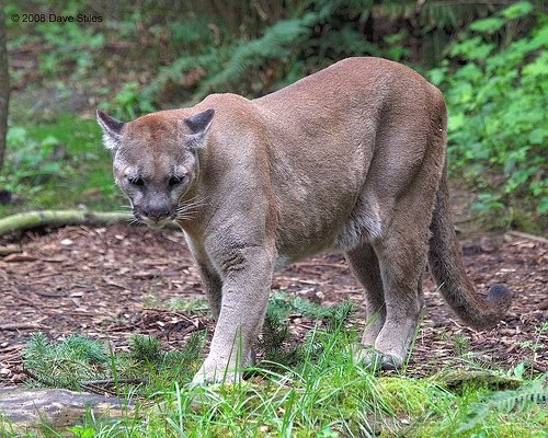 cougars in east texas