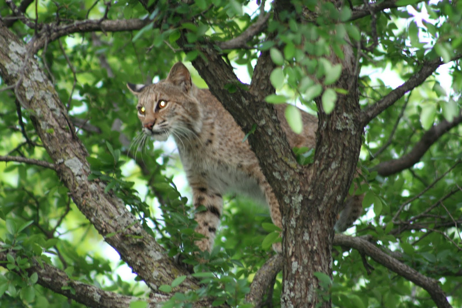 Texas Cryptid Hunter Bobcat s From Plano Texas