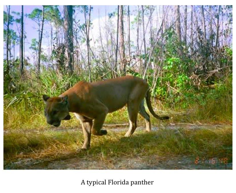florida panthers animal. quot;It was a Florida panther.