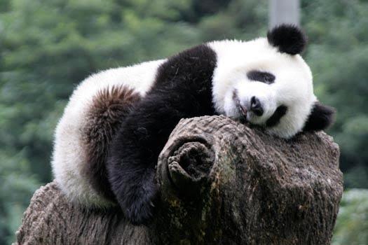 Peace Corps Panda-monium!