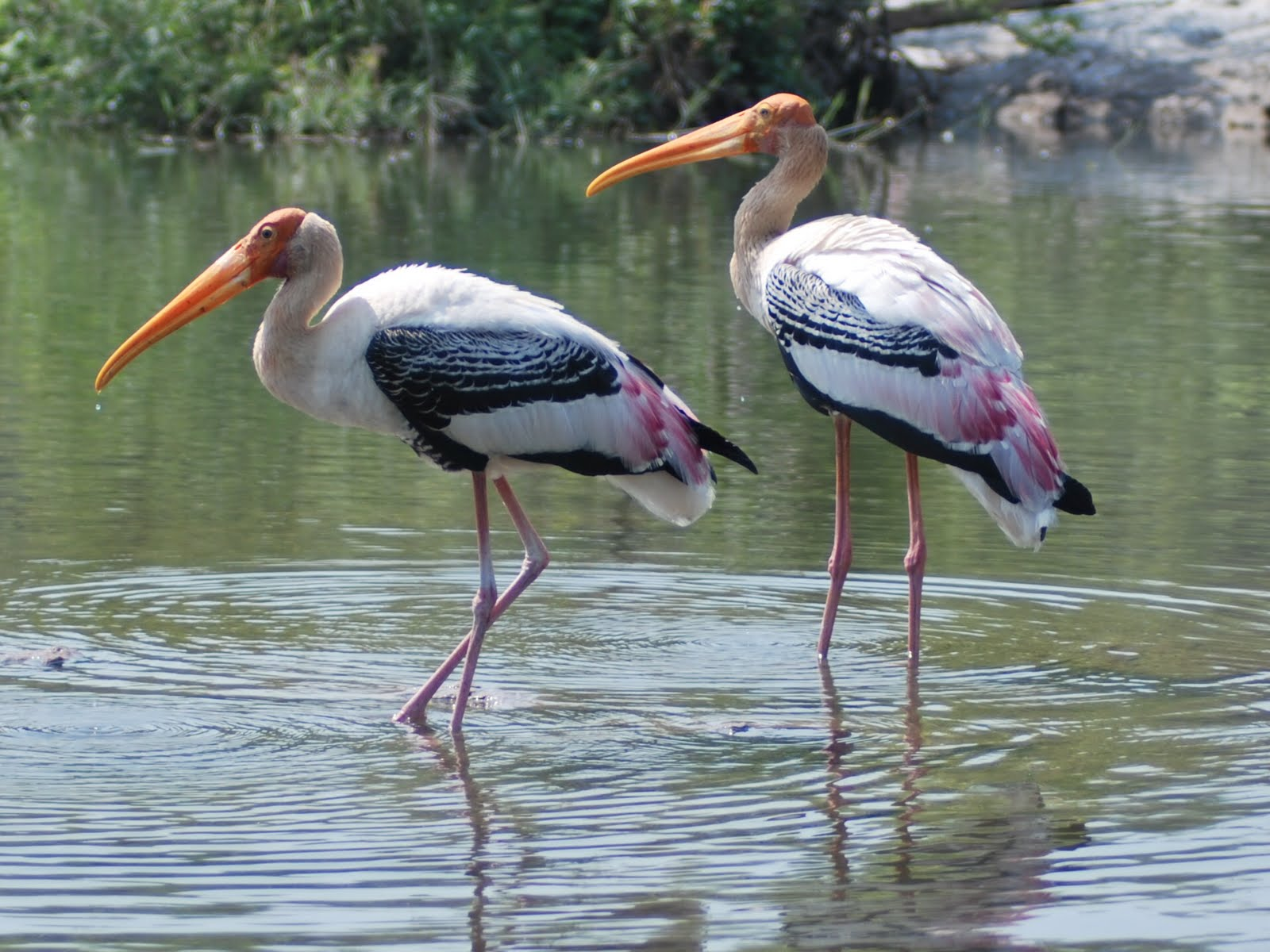 Iseebirds the painted stork needs no painting the painted stork needs no painting buycottarizona Choice Image