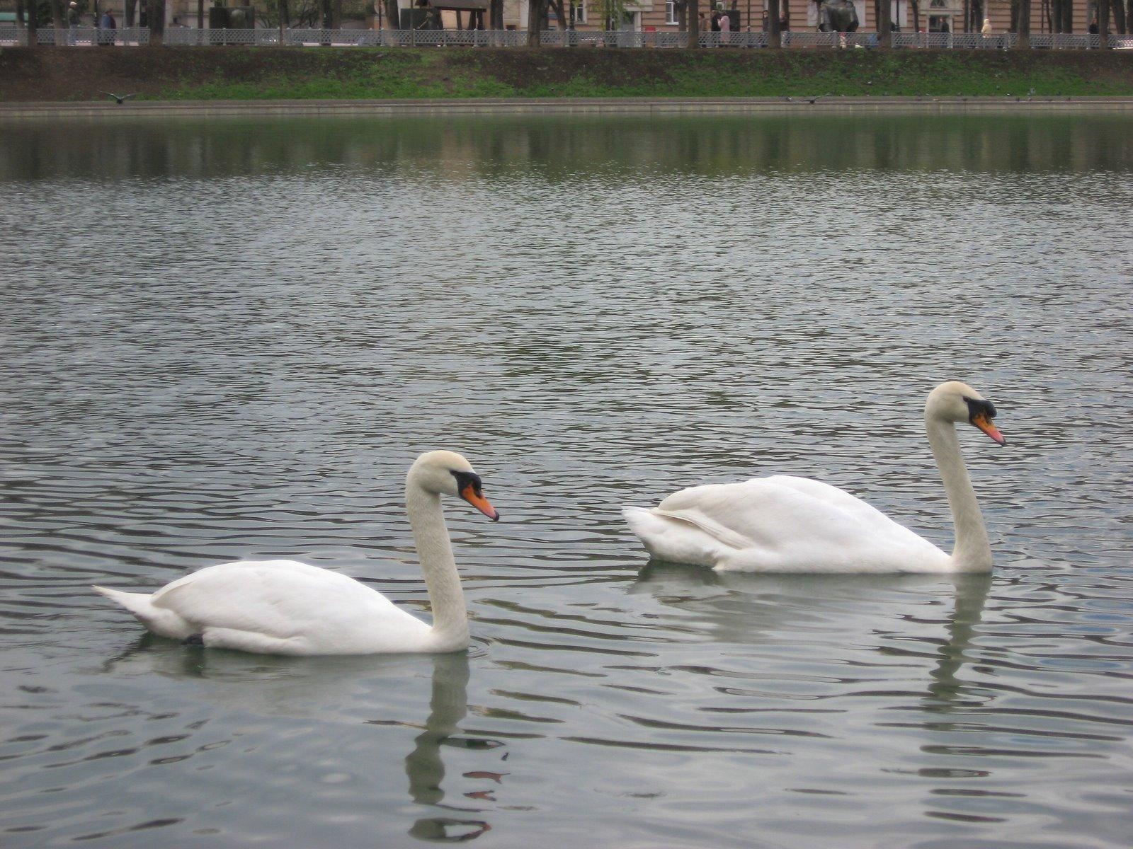 [swans_pair.jpg]