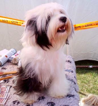 Tibeti Terrier