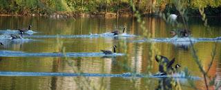 geese landing in Jephson Gardens, UK
