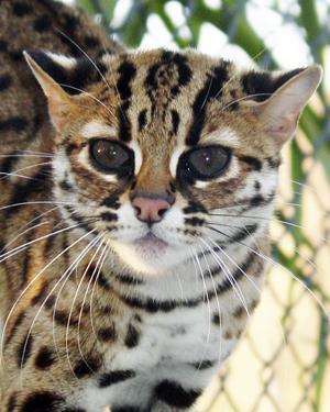 Walaupun namanya Kucing Hutan tetapi satwa liar ini tid