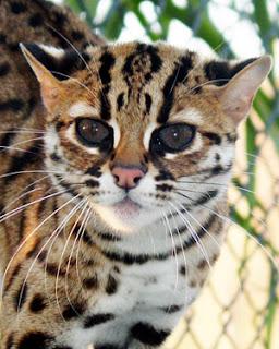 Gambar kucing hutan