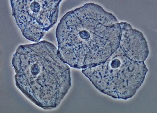 celula animal y sus partes. celula animal y sus partes. dibujo de celula animal. Células epiteliales de la;; dibujo de celula animal. Células epiteliales de la; Células epiteliales de