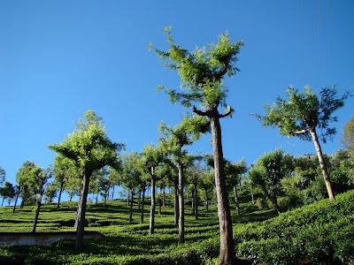 Tea Garden Coonoor