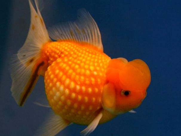 Pictures of Goldfish and a Short Description | All ...