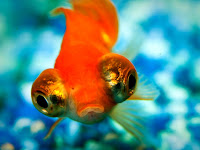 telescope-eye goldfish