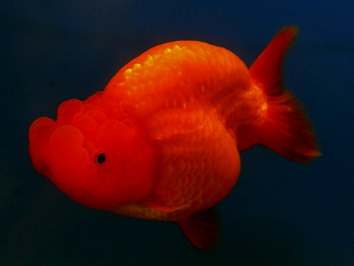 Pictures of goldfish and a short description all for Doctor fish for sale