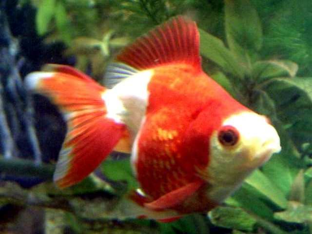 Pictures of goldfish and a short description all for Where to buy pet fish