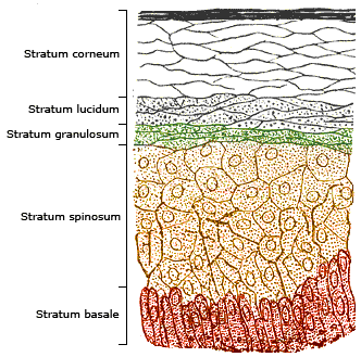 Structure of layers of the epidermis