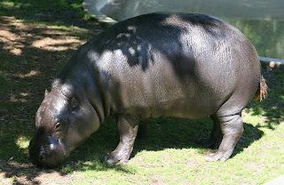 pygmy hippo in Côte d'Ivoire