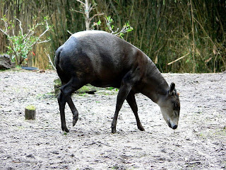 Yellow backed duiker