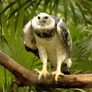 Harpia Eagle