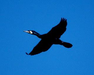 Great Cormorants