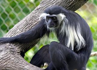 colobus angolensis monkey found in Uganda