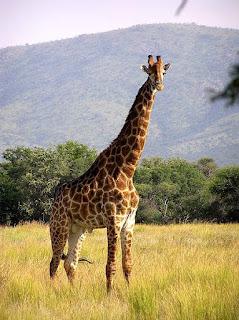 Giraffe is found in Uganda