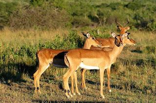 Impala found in Uganda