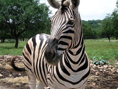 Zebra, national animal of Botswana