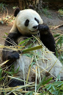 giant panda of China