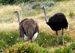 Ostrich in Nigeria