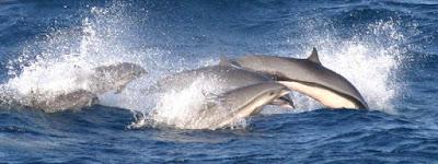 Frazer's dolphin group found in Fiji