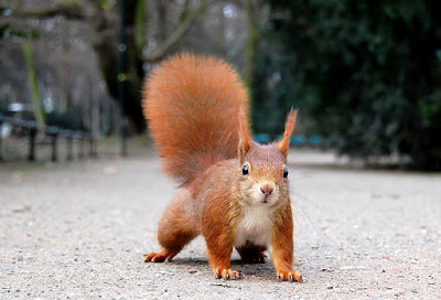 Red squirrel found in Austria