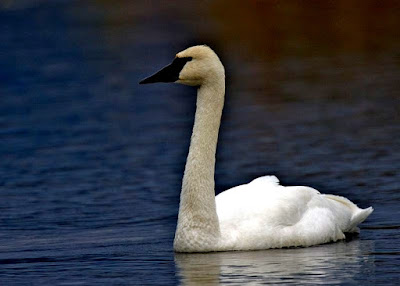Tundra swan found in Austria