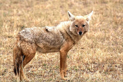 golden jackal found in Austria