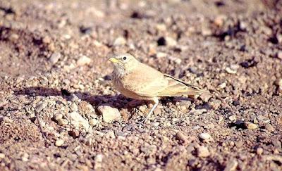Desert lark in Turkmenistan