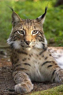 Eurasian Lynx in Turkmenistan
