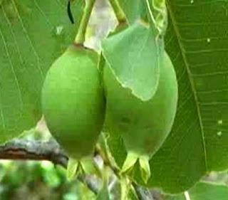Kakadu plum