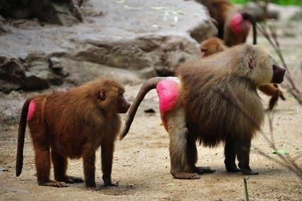 singe avec un cul rose sur le forum Blabla 18-25 ans - 05