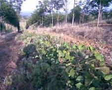 การปลูกพืชคลุมดินในระหว่างแถวยาง