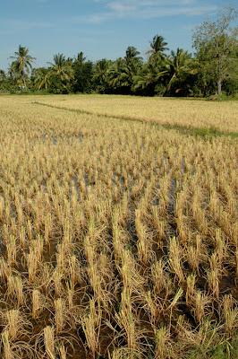Cambodia cut rice