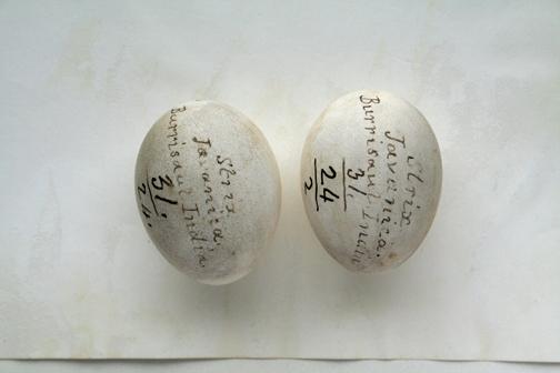 Eggs Halaetus leucogasten (Redpath Museum)