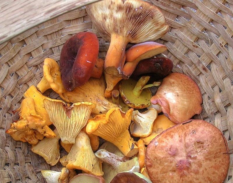 Mushrooms of Fort Valley Virginia: Basket Pic July 30, 2009