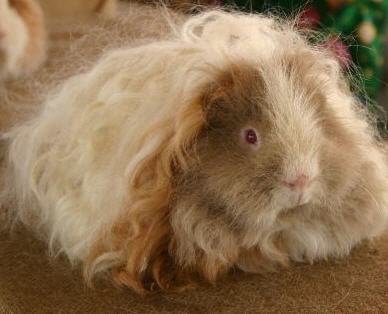 texel guinea pig awaiting judging at a show