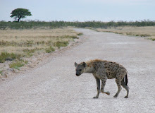 Spotted Hyaena, Etosha NP, Namibia Dec 2006