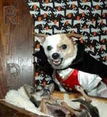 funny dog dressed as vampire