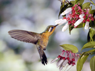 HUMMINGBIRD image picture photo