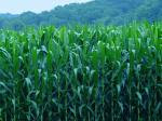 cornfield image photo picture