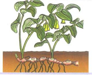 Reproduccion asexual en plantas por estolones significado