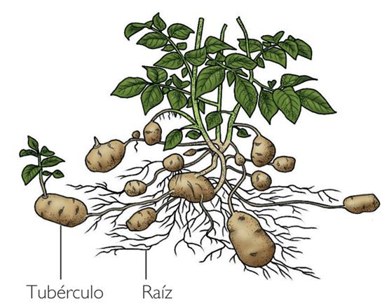 contienen pequeñas yemas y de ahí crecen nuevas plantas de patata