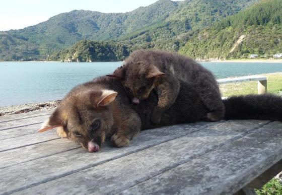 Possum de Nueva Zelanda