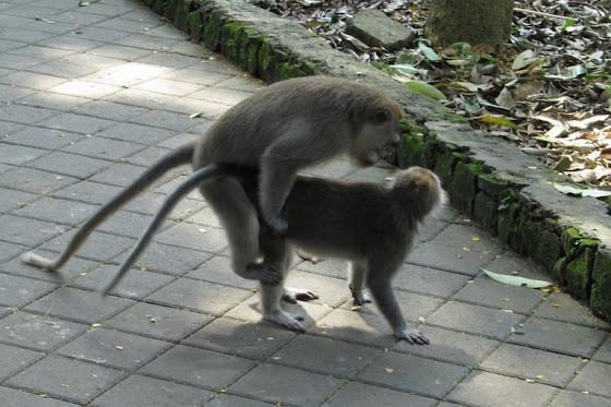 Los monos en sus encuentros con monas