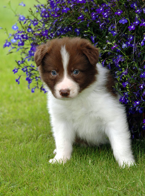 border collie puppies. real order collie puppy!